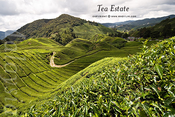 TeaEstate42 Composition in Landscape Photography