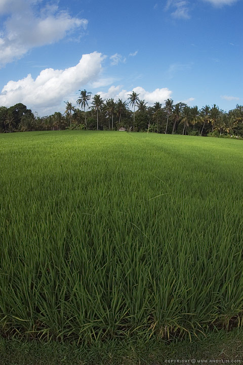 Ubud_Rice_Field2